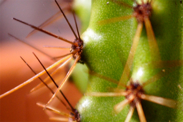 Baby Saguaro © Dennis Mojado