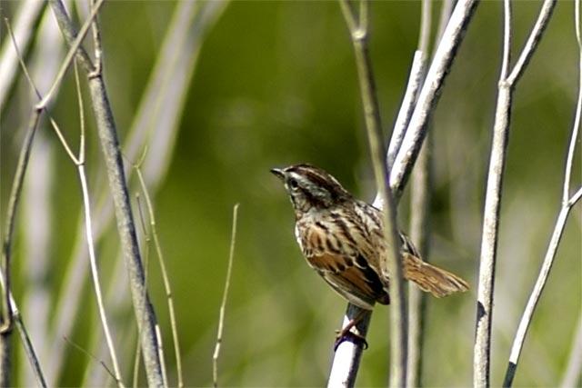 Noisy bird © Dennis Mojado