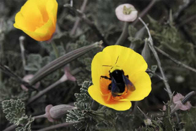 Bumble Poppy 2 © Dennis Mojado