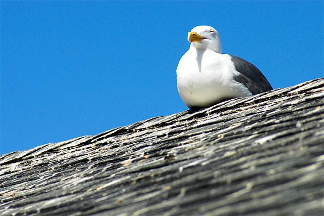 Chillin' Gull © Dennis Mojado
