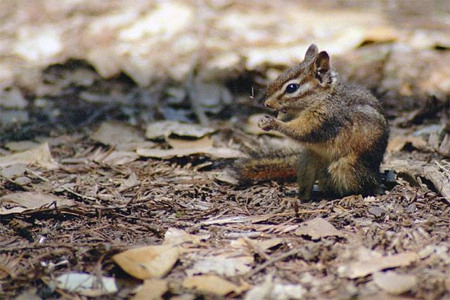 Chipmunk © Dennis Mojado