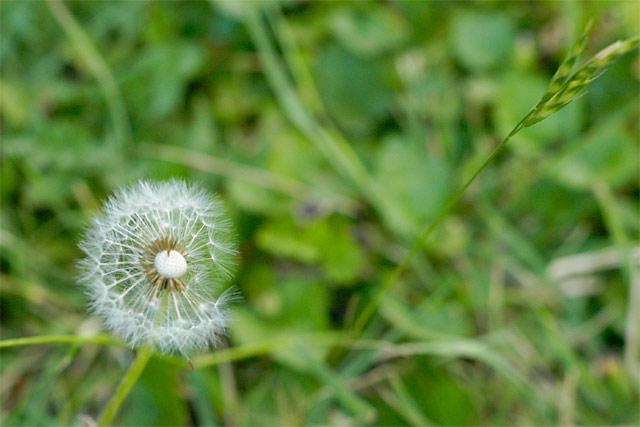 Backyard Dandelion © Dennis Mojado