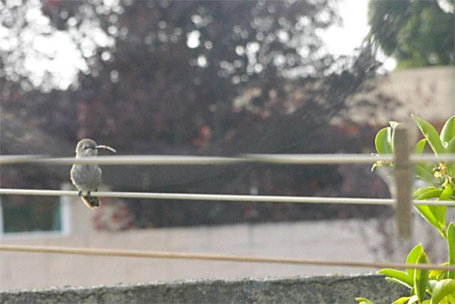 Hummingbird Rest © Dennis Mojado