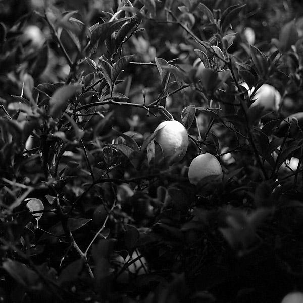 Lemon © Dennis Mojado