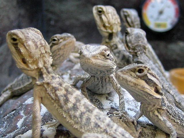 Lizard Posse I © Dennis Mojado