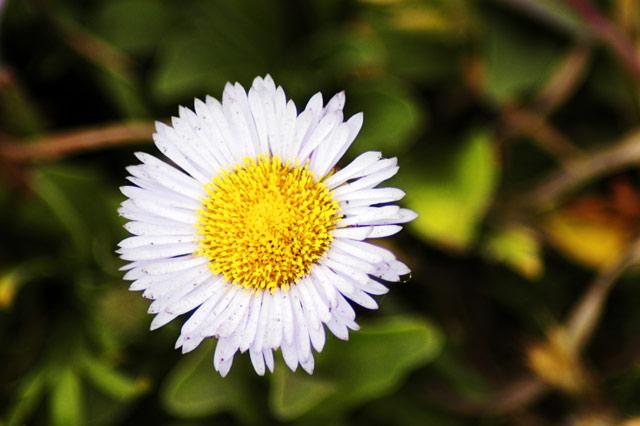 Micro Daisy © Dennis Mojado