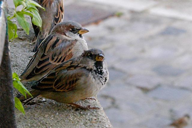 Parisian Birds © Dennis Mojado