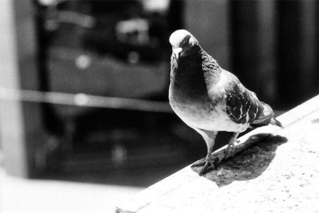 Precarious Pigeon © Dennis Mojado