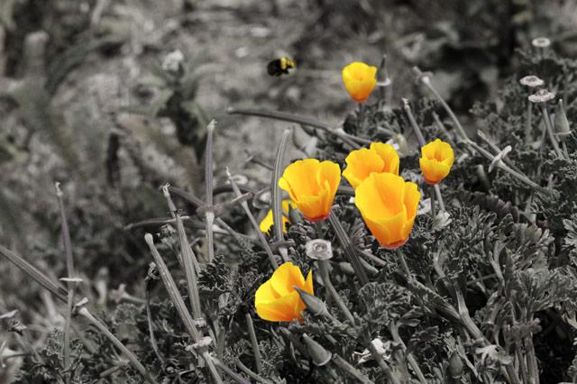Poppies © Dennis Mojado