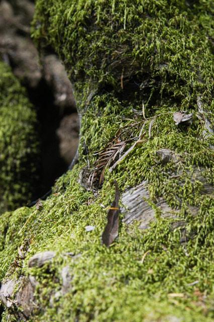 Redwood Moss © Dennis Mojado