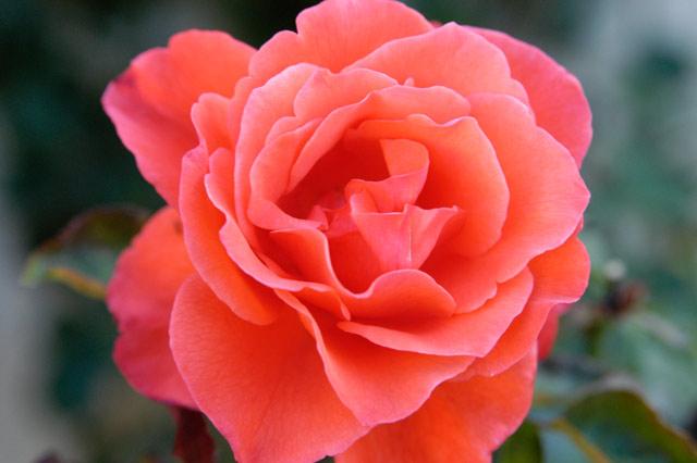 Rose Orange 2 © Dennis Mojado