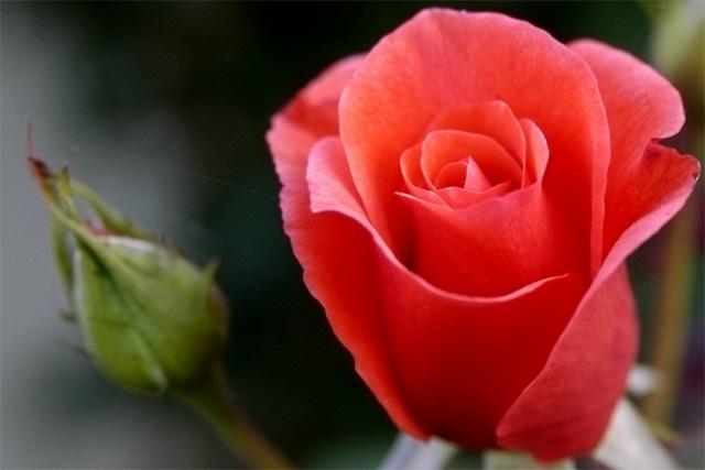 Rose, Orange © Dennis Mojado