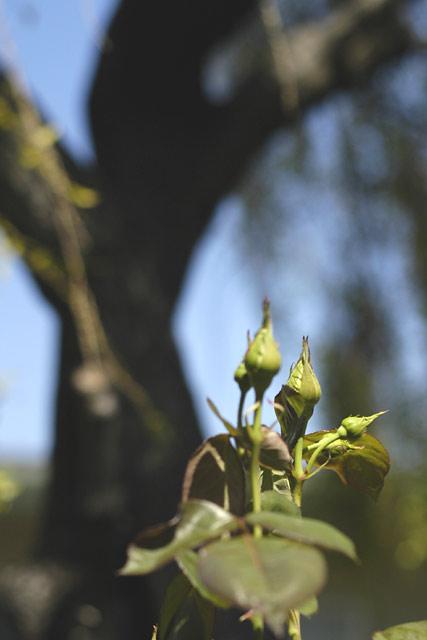 Spring rosebuds © Dennis Mojado