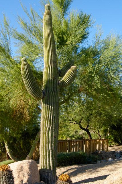 Saguaro © Dennis Mojado