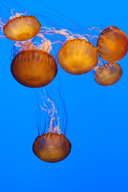 Six Sea Nettles © Dennis Mojado