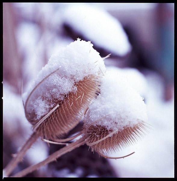 Snow Burr © Dennis Mojado
