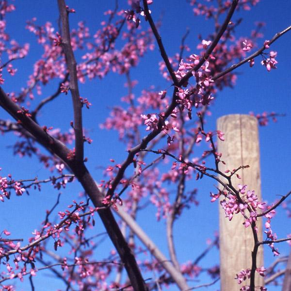 Spring Blossoms II © Dennis Mojado