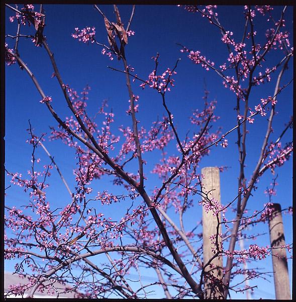 Spring Blossoms I © Dennis Mojado