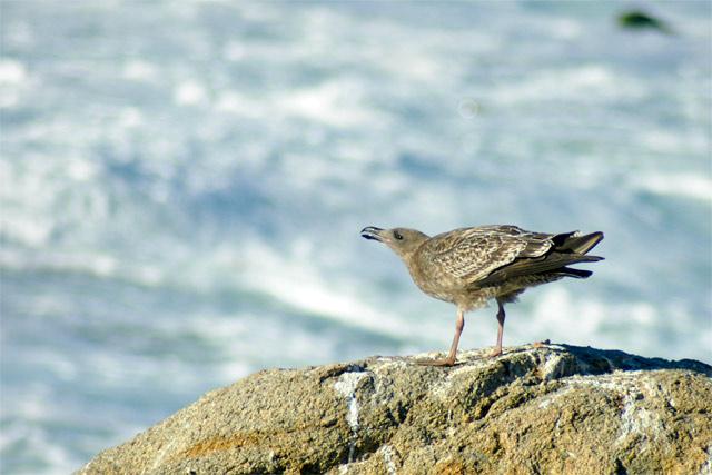 Windy Gull © Dennis Mojado