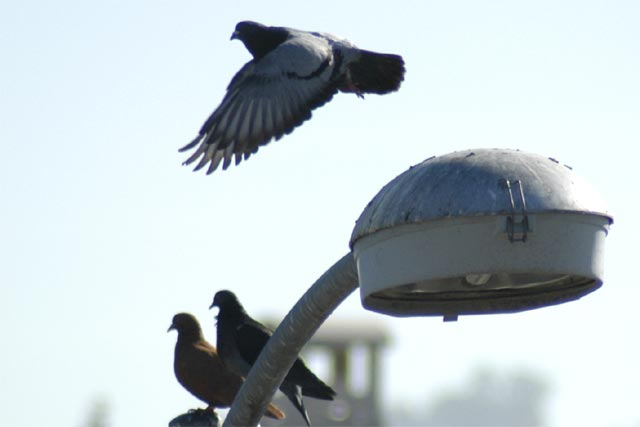 Hayward Pigeons © Dennis Mojado